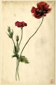 poppy watercolor by Jan van Huysum  1697-1749