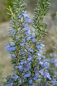 Rosmarinus officinalis ~ Rosemary