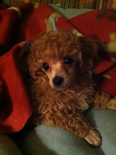 Red poodle - my Bingley:)