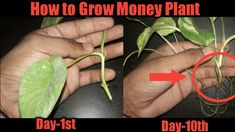 How to Grow Money Plants in water , Grow indoor plants faster , Grow plants from Cuttings Today am growing money plant .