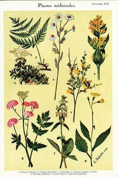 "Original antique print taken from the ""Médecine familiale illustrée"" il published in 1932, Paris, France. The reverse side is white. Page size is apprx 18 x 26 cm / 7.5 x ... #camomile #chamomile"