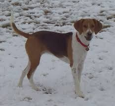 The Harrier dog breed resembles a Beagle. They are larger and more powerful hounds than the Beagle and smaller than the English Foxhou. Fox Terriers, Terrier Breeds, Pitbull Terrier, Treeing Walker Coonhound, Beagle, Harrier Dog, Griffon Nivernais, Animals, Bretagne