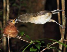Dark Newtonia (Newtonia amphichroa) videos, photos and sound recordings | the Internet Bird Collection | HBW Alive