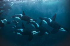 Picture of orca pod