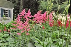 Astilbe These feathery plants add pink, lavender, white, and red flowers to your shade garden. Astilbe loves partially shaded, moist spots, although it will grow in deep shade — just don't expect as many blooms. It looks great along borders or as an accent plant that gives your garden a punch of color. Butterflies love them; deer don't. They have a lovely fragrance, so cut a few for an indoor display.