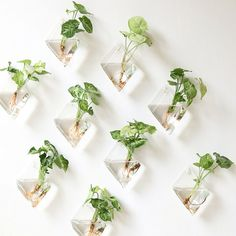 This rhombus shape modern wall planters is handmade with high boron silicon glass,clear and light.It can be wall hanging with nail applied to wall vase/air plant planter holders for wall decoration/house ornament. Beautiful and great for rooting plants of Duranta repens 'Variegata' in water!They will be wonderful on your wall. plants in water! *You only receive 9 empty wall glass and white wall hooks,Please check all of the air bubbles and plastic wrap,look for the wall hangers wh...