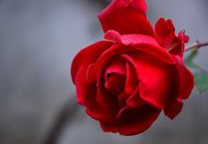 Free Image on Pixabay - Rose, Blossom, Bloom, Plant, Flower Beautiful Good Night Images, Good Morning Images Flowers, Morning Pictures, Morning Pics, Rose Images Hd, Flower Images, Flower Photos, Red Rose Flower, Red Roses