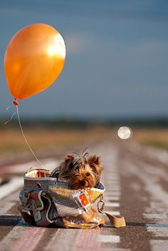 too cute...yorkie love
