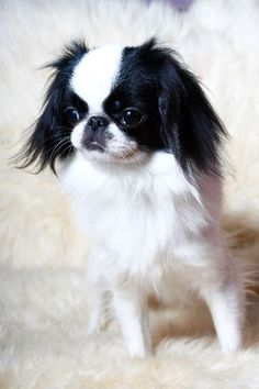 Strange Japanese Chin Dog Art Portraits Photographs Information And Just Hairstyle Inspiration Daily Dogsangcom