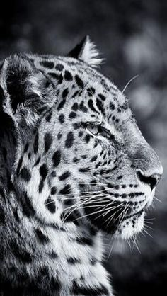 Black and white Passion Photography, Animal Photography, Big Cats, Cool Cats, Beautiful Creatures, Animals Beautiful, Big Animals, Through The Looking Glass, Snow Leopard