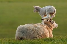 LAMB FACT: Lambs love to boop other lambs or sheep! | Animals March Madness, Round One: Otters Versus Lambs