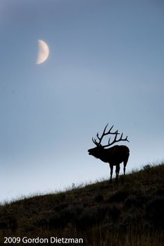 Elk by Gordon Dietzman