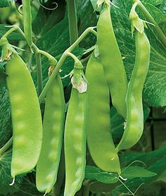 Pea, Oregon Sugar Pod II  Produces a huge crop of snow peas with high percentage of two pods per cluster.   Customer Favorite!