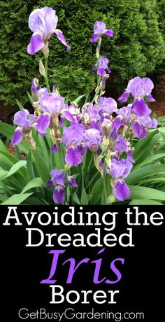 The iris borer is not a death sentence for your irises. It's really not that difficult to protect your irises from being damaged by the dreaded iris borer. Growing Irises, Growing Flowers, Planting Flowers, Flower Gardening, Vegetable Gardening, Container Gardening, Planting Plants, Flowers Garden, Rare Flowers