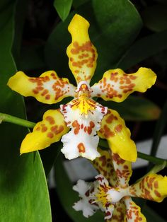 Orchid Hybrid: Oncidium x Odontoglossum Hambühren Gold - Flickr - Photo Sharing!