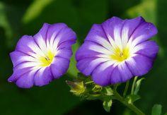 Prunkwinde (Ipomoea violacea) – Halluzinogen und Psychotrop