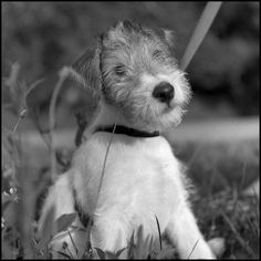 Our newest member of the family, short for Dashiell, as in Dashiell Hammett - author of The Thin Man and related detective stories whose cinematic interpretations featured a wire fox terrier named Asta. Wirehaired Fox Terrier, Fox Terriers, Wire Fox Terrier, Terrier Dogs, Schnauzers, Beautiful Dogs, Dog Breeds, Kittens, Best Friends