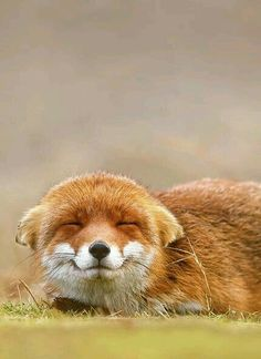 Best collection of cute Fox pictures. These pictures will make you fall in love with the fox all over again. Fox is one of the cutest animals in the universe. Animals And Pets, Baby Animals, Funny Animals, Cute Animals, Wild Animals, Fox Images, Fox Pictures, Fox Face, Little Fox