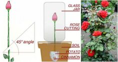 How to Propagate Roses Easily