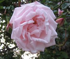 New Dawn, cultivated 1930. Climber, my garden 2012 this one  is climbing up my apricot tree.