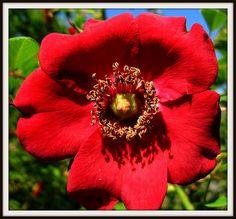 English red rose at the Garden House - Buckland Monachorum, Devon