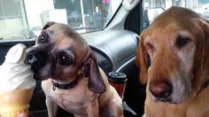 Cooper and Daisy Dogs Love Soft Serve Ice Cream~~ HAHAHAHAHAHA!!!!!!!!!!!!! awe LOVE :)