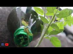 Trồng cà chua kiểu mới trong chai nhựa tái chế - trồng rau quả sạch tại nhà Bonsai Art