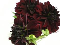 """Chee"" Dahlia - One of my favorite cut flowers, just beautiful with the black leafed, fall colored ones. - bloom type: Laciniated Water Lilly, color: black, bloom size: 4"", height: 4ft"
