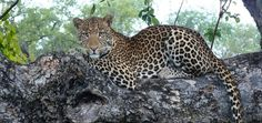 Top Travel Experience: Wow Moments with Leopards on Safari in Zambia - Wander With Wonder Safari Holidays, Out Of Africa, Leopards, African Safari, Zebras, Big Cats, Luxury Travel, Dream Vacations, Beautiful Creatures
