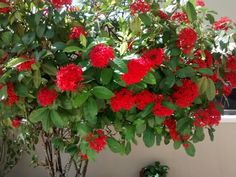 Flores da casa  32