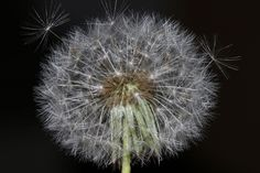 Dandelion wishes beginning to take flight