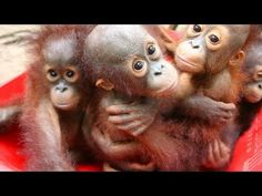 Forest preschool teaches rescued baby orangutans how to live in the wild Baby Animals, Funny Animals, Cute Animals, Baby Orangutan, Surviving In The Wild, Cute Monkey, Wild Edibles, Primates, Animal Rescue