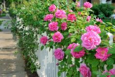 Pest and Disease Control for Roses | Stretcher.com - Protect them and you'll be rewarded with beauty