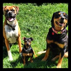 It's a dogs life! #boxerlove #Rottweilerlove #muttlove