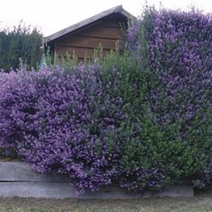 Prostanthera sieberi Prostanthera Minty™ is a dense shrub with aromatic foliage and mauve flowers from spring through summer. It is suitable for a full sun to part shade position. Good coastal plant, that will tolerate clay soils. Drought hardy and frost tolerant once established. Grows 1.8m high x 1.2m wide.