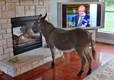 This Donkey Lives Indoors And Is A Perfect Gentleman Like Animals, Cute Funny Animals, Burritos, Pet Donkey, Mules Animal, You Are An Inspiration, Animals Beautiful, Creatures, Indoor