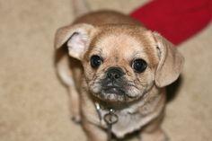Pekachu puppy! (Pekingese chihuahua)