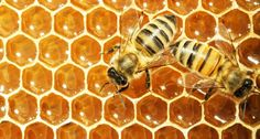 Working-bees-on-honey-cells-Shutterstock-800x430.jpg (800×430)