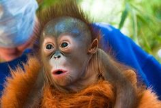 Baby orangutang, made me laugh so much! :-)