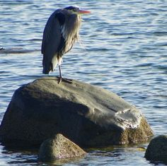 Blue Heron at the shore in Campbell RIver ~BC, Canada, Vancouver Island