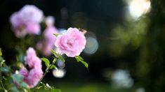 Pink Rose Bokeh Ultra HD Desktop Background Wallpaper for : Multi Display, Dual Monitor : Tablet : Smartphone Bokeh Wallpaper, Wallpapers, Pink Roses Background, Rose Flower Wallpaper, Cool Desktop, Mac Desktop, Pink Rose Flower, Colorful Flowers, Planting Flowers
