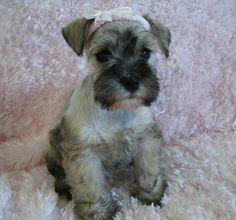 baby schnauz! what a cutie  Puppy Monster!