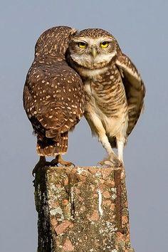 Burrowing Owls by Arlei Bertani
