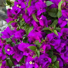 Nothing like adding a bright Bougainvillea just in time for outdoor entertaining. These stunners are perfect in containers (with support) or draped over the side for an exotic look. (Shown: Purple Queen Bougainvillea zones 10-11)