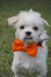 Mugsy (Local 9/7/13) is an adoptable Poodle Dog in Griswold, CT. Meet Mugsy!!! Mugsy's story is a sad one...but hopefully one with a very happy ending. Mugsy was found on the side of the road and then...