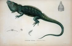 Cyclura harlani, Dumeril et Bibron. Author Sagra, Ramon de la (1798-18. Index