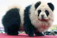 Chow chow panda!