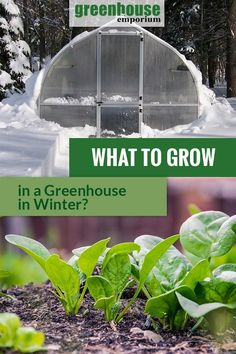 Greenhouse Gardening in Winter: What Plants To Grow in the Cold Season?- Winter can be a gardening season as well if you own a greenhouse. There are many plants that tolerate lower temperatures and shorter days. Find out what you can grow in winter here! Winter Greenhouse, Best Greenhouse, Greenhouse Effect, Greenhouse Growing, Greenhouse Ideas, Homemade Greenhouse, Portable Greenhouse, Greenhouse Vegetables, Backyard Greenhouse
