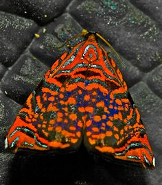 Colourful metalmark moth found during a night hike in Manu national park…