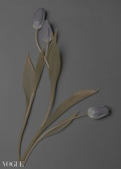 grey tulips III Tulips, Grey, Gray, Tulip
